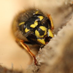 Bzzzzz Zzzzz Zzzzz (sleeping wasp) (Pog's pix) Tags: wood sleeping black macro yellow insect square scotland eyes wasp wildlife leg queen antennae vespula renfrewshire vespidae mandibles commonwasp vespulavulgaris hibernating vvulgaris