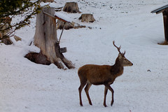 Wildftterung am Kramer (Oberau-Online) Tags: wild garmisch garmischpartenkirchen wildftterung