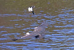 Attack (mgjefferies) Tags: bird heron attack australia queensland peewee stanthorpe mgjefferies