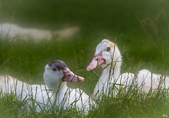 Faulenzen ist doch was schnes... (roland_lehnhardt) Tags: eos60d sigma120400mm tiere animals nahaufnahme close up portrait tierportrait enten duck anatidae wasservogel grn grenn wiese natur nature gras