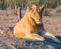 Looking (MarcCooper_1950) Tags: lion lioness africa wild wildlife bush safari bigfive predator bigcats biggame animals feline fauna goldenhour sabisands arathusa lodge marccooper panasonic lumix fz1000 leica iightrrom hdr