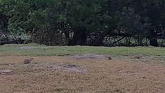 Prairie Dogs in TRNP