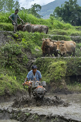 Farmer Sanjay Tamang operates a mini tiller to puddle a plot for transplanting rice while his neighbor does the same work with bulls in Baitar, Nuwakot. (CIMMYT) Tags: nepal csisa cimmyt maize agriculture smallholder farmer mechanization asia
