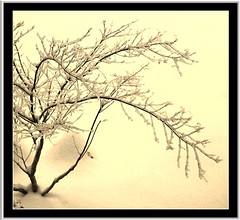 Ice Covered Japanese Maple (JC Loves U) Tags: japanesemaple ice phonepic tere snow tigard portland oregon