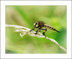 Giant Robberfly (MEaves) Tags: bug insect robberfly predator nature