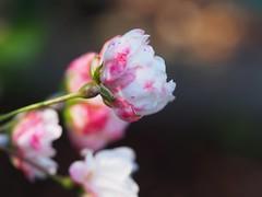 Rose. (michaelmueller410) Tags: rosa pink rose strauch strauchrose buschrose busch sommer