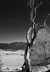 Lone Tree in Death Valley National Park (Black & White) (thor_mark ) Tags: amaragosarange blackwhite blueskieswithclouds canvas capturenx2edited colorefexpro creosotebush day4 deathvalleynationalpark desertlandscape dunes greatbasinranges lookingne mesquiteflatsanddunes mountains mountainsindistance mountainsoffindistance nature nikond800e oldmesquitetree portfolio project365 sand sanddunes silverefexpro2 thimblepeak triptodeathvalleyandcalifornia westgreatbasinranges california unitedstates