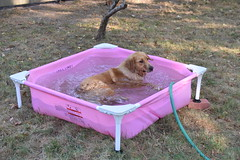 DSC_0350 (ghoulia) Tags: goldendoodle goldenretriever poodle labradoodle labrador rovercom dogvacay