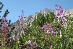 Fireweed view (Jeff Goddard 32) Tags: sierranevadamountains highsierra northlakebackcountry inyocounty california wildflowers