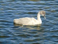 Cygnet (stuartcroy) Tags: orkney island cygnet swan harray harrayloch water weather waves scotland sea sony beautiful bird bay young