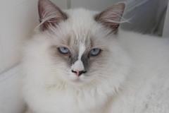 Canon_20160827001 (Snowy Olaf) Tags: kitten britishlonghair       feliscatus   canon eos400d ef50mmcompactmacro f25