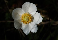 Wild Flower (Hugo von Schreck) Tags: rebenblttrigeanemone anemonevitifolia hugovonschreck wildflower wildblume outdoor tamronsp90mmf28divcusdmacro11f017 blume flower canoneos5dsr onlythebestofnature