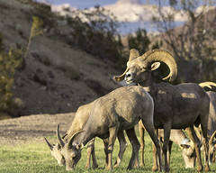02469225-79-Desert Bighorn Sheep-4 (Jim There's things half in shadow and in light) Tags: 2016 aug bouldercity nevada animal bighornsheep canon5dmarkiii