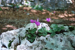 Cyclamen purpurascens brave, tough and tender (liliumregale) Tags: asiago cyclamenhederifolium primulaceae erdscheibe sowbread