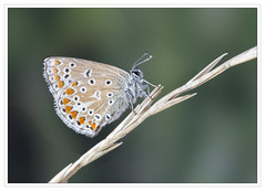 Resting (alone68) Tags: butterfly canon chalkhillblue nature kwt
