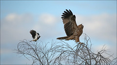 Pee Wee chasing off intruding Whistling Kite (4 photos) (cleardrops) Tags: whistlingkitehaliastursphenurus pee wee alicesprings