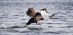 walking on water (rina sjardin-thompson photography) Tags: swan flight water takeoff nature bird rinasjardinthompson flying
