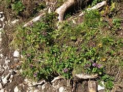 Dost (Mirada.) Tags: wandern hiking berg berchtesgarden dost wildpflanze kruter