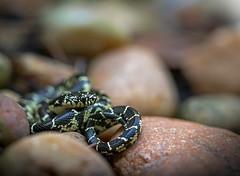 Hatchling Black Kingsnake (cre8foru2009) Tags: lampropeltisnigra kingsnake snake herping snakes reptile hatchling neonate baby