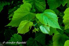 Sheet generation (Bernsteindrache7) Tags: summer flora fauna outdoor landscape panasonic lumix germany green park leaf