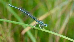 Blaue Libelle (Mani Roos) Tags: libelle dragonfly insekt insect natur nature grn green blau blue canoneos7dmarkii sigma1770mm28 maniroos autofocus beyondbokeh