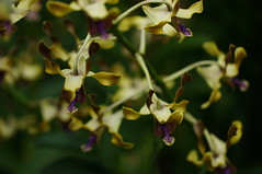 DSC09001 (oliveplum) Tags: orchidextravaganza yellow orchid gardensbythebay flowerdome flickrtravelaward bokeh leica60f28macro sony singapore bokehwhores