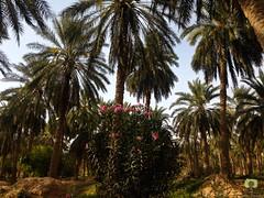 Laurier-rose dans la palmeraie de Hobba (Ath Salem) Tags: algrie paysage tourisme dcouverte    palmeraie hobba eloued souf sable blanc sahara est irrigation palmier   coupole