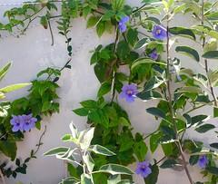 Thunbergia Flowering (Assaf Shtilman) Tags: thunbergia flower wall blue creeper