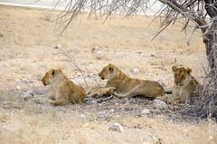 _DSC1741.JPG (manuel.schellenberg) Tags: namibia animal etosha nationalpark lion