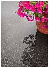 Day 245 - Liquid Sunshine (Free 2 Be) Tags: petunias project365 water endofsummer photoaday flowers dailyphoto reflection 365 postaday rainy rain explore explored
