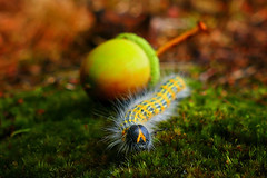 Hairy Expedition (Little♥Krawler) Tags: raupe tier animal nature natur caterpillar forest wald eichel acorn makro macro dof