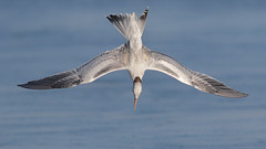 Diving! (bmse) Tags: elegant tern bolsa chica dive diving bmse salah baazizi wingsinmotion canon 7d2 400mm f56 l
