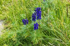 Blauer Eisenhut / Aconite (oonaolivia) Tags: blumen flowers nature wanderung walkingtour hiking blauereisenhut aconite