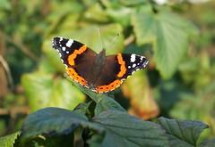 Schmetterling (ute_hartmann) Tags: