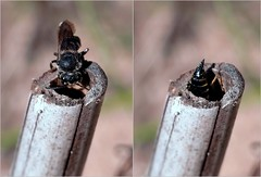 Coelioxys inermis f - 21 IX 2016 (el.gritche) Tags: hymenoptera france 40 garden megachilidae female coelioxys inermis coelioxysinermis megachile centuncularis megachilecentuncularis nest behavior
