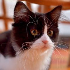 tansey (paulatpowys) Tags: cat cute whiskers kitten nikon d5500