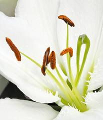 Pistil close-up (Roniyo888) Tags: pistil closeup white lily flower pattern petal