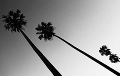 Askew (Gunn Shots (Mark Gunn)) Tags: palmtrees palms palm silhouette novato minimalistic