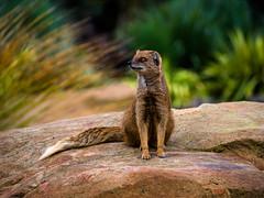 Mongoose (gwenansykes) Tags: yorkshirewildlifepark mongoose