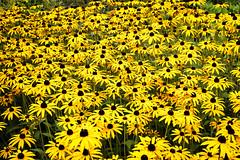 Yellow Mass. (John2am.) Tags: northdevon rubeceii southwest uk coast flower garden nature outdoors outside rocks sea sky