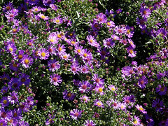 Aster chilensis (V@n) Tags: flowers purple daisy aster asteraceae