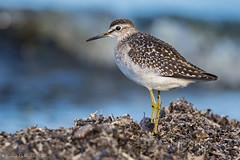 Fidle au poste. (DorianHunt) Tags: birds bokeh woodsandpiper switzerland september 2016 nikond7200 sigma 150600mm