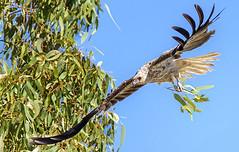 10:02am, lagoon creek, a nesting whistling kite (Fat Burns  (gone bush)) Tags: whistlingkite haliastursphenurus kite raptor bird australianbird fauna australianfauna hawk nikond750 sigma150600mmf563dgoshsmsports sigmatc140114xteleconverternik barcaldine lagooncreek