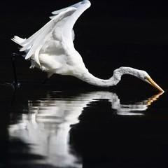 Aigret (jlp771) Tags: bird white blanc oiseaux aigrette canon sl1 aigret eos