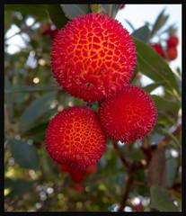 Hey! This Tree has Dingle Balls (Martin Smith - Having the Time of my Life) Tags: canada bush bc promenade whiterock strawberrytree arbutusunedo dingleballs canonpowershots95