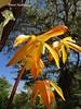Houlletia odoratissima (forma escasa amarilla) cultivada por Orquideas del valle, Cali, Colombia (David Haelterman) Tags: orchid orchidée orquidea flor fleur flower nature naturaleza colombia colombie america amérique américa tropiques tropicos tropical trópics sudámerica amériquedusud southamerica américadelsur orquídea orchidaceae plant planta plante