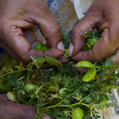 Chole (beachinrn) Tags: snack fresh chole chickpeas hands shelling delicious food green fingers pune india odc 2