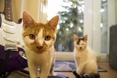 Biscuit and Pebbles (Zara Heath) Tags: cats closeup cat kitten kitty gatos pebbles biscuit gato gatito guijarros galleta