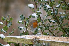 Robin on a Winter's day (Joanna Ar Ffo) Tags: winter snow bird nature robin feeder holly flickraward bbcwalesnature pfbmag