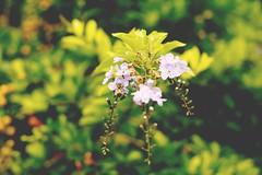 Bee (Samira Ferraz) Tags: flowers plants nature canon bee 365 1855mm 1855f3556 project365 365days 365dias abrigadeiro